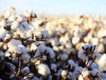 گلستان ما - هم پیمان برای احیای طلای سفید گلستان/ آمادگی «ماهوت شمال» و «خاوردشت» برای حمایت از کشت پنبه در استان
